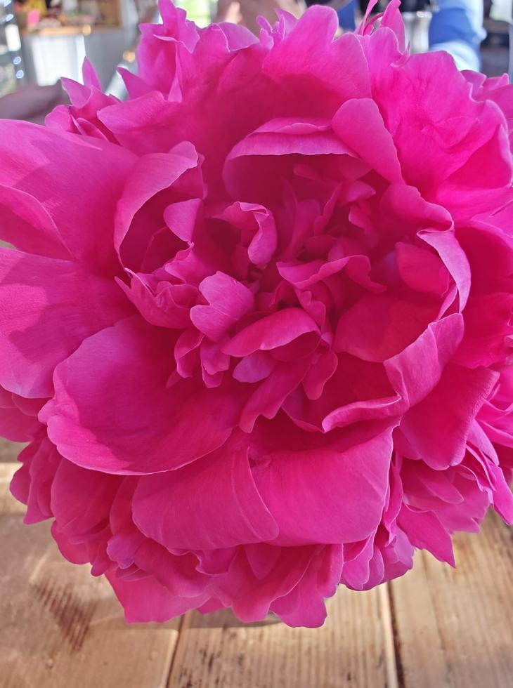 Peony picked by Evelyn.