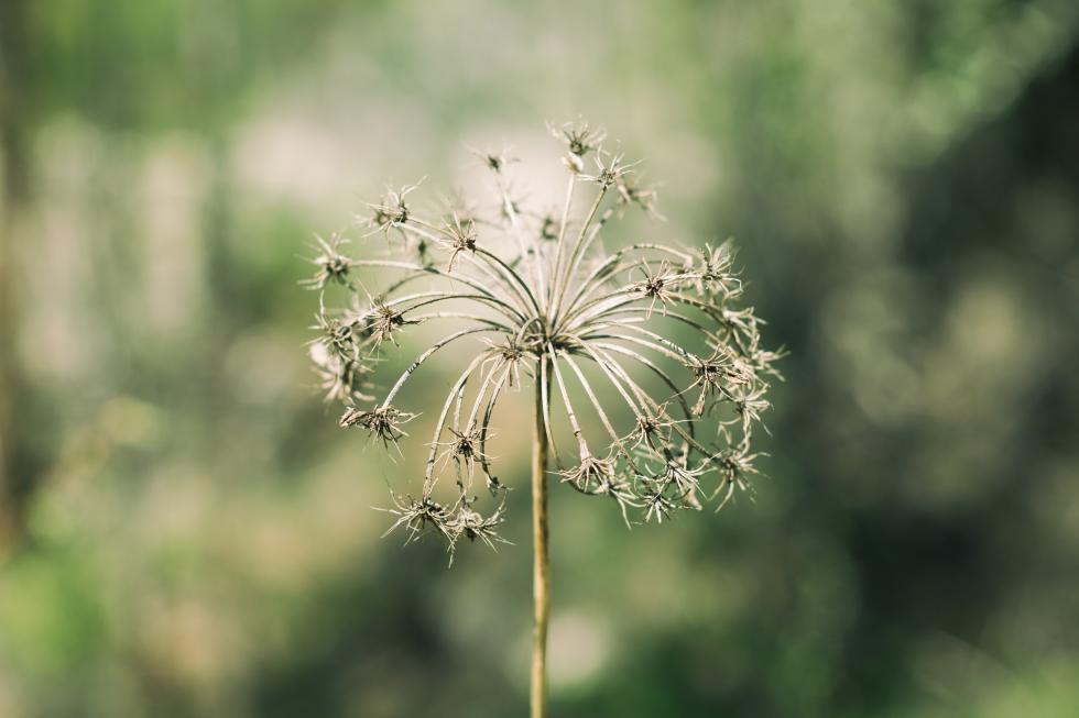 Dandelion seeds stuck on the stem.